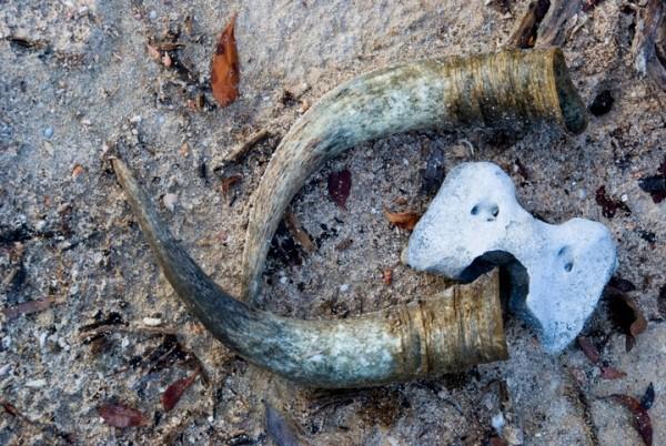 Anegada, BVI - Horns-a-plenty