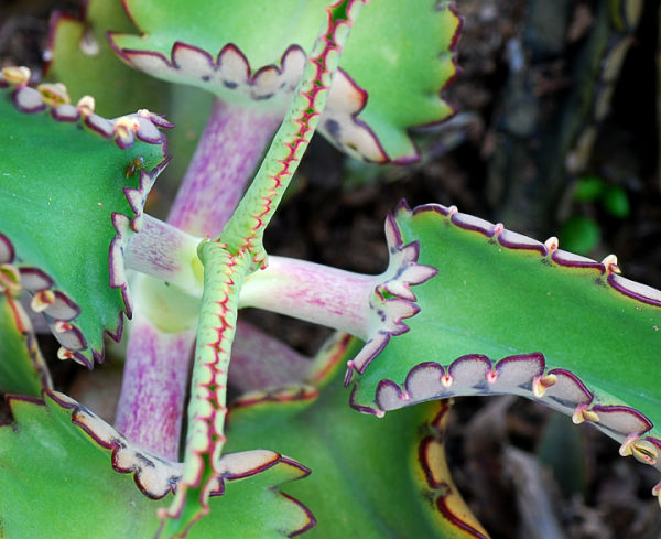 Succulent with Ant
