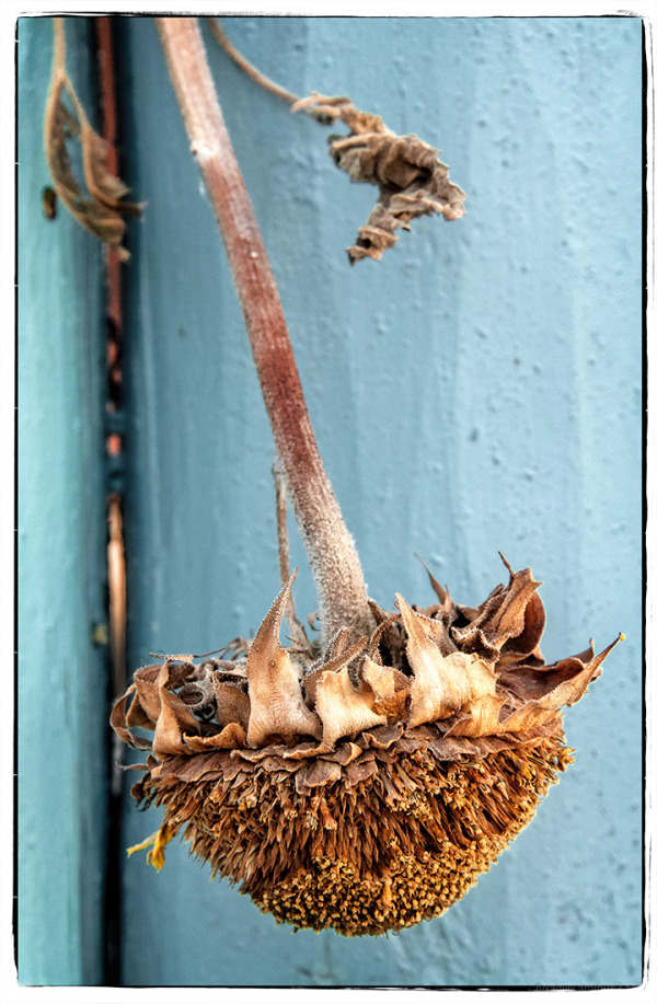 Dried Sunflower