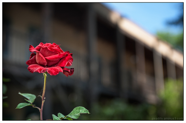 Courtyard Rose
