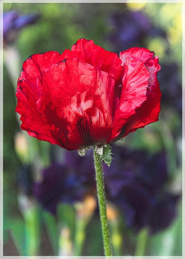 Flora:  Red Poppy