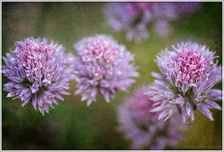 Flora:  Chives