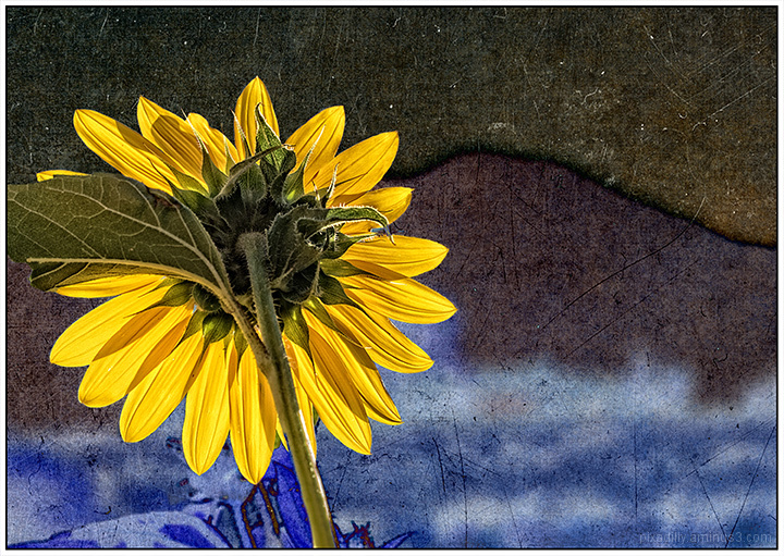Sunflower and Taos Mountain