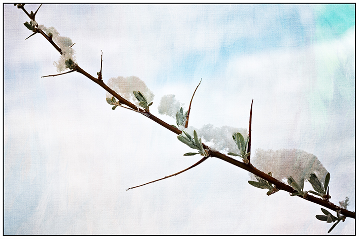 Snow-Capped Olive Branch