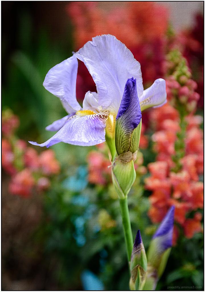 Flora:  Iris