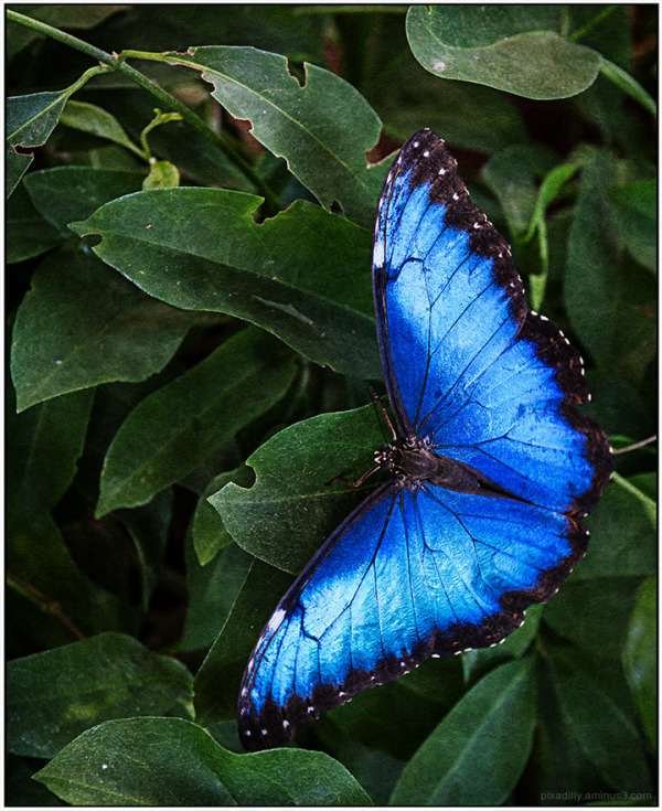 Red Spotted Purple Butterfly