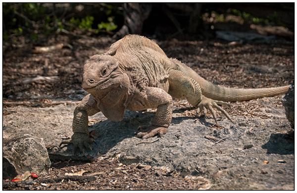 Anegada Iguana:  Reimagined