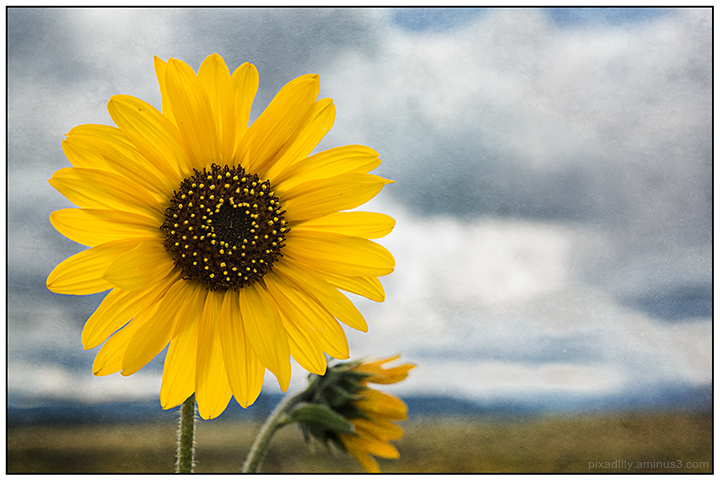New Mexico Sunflower