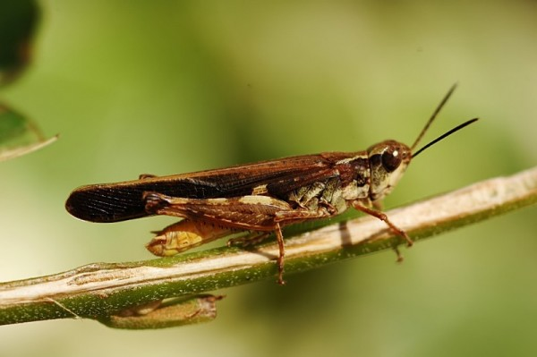 Dry Grass Hopper
