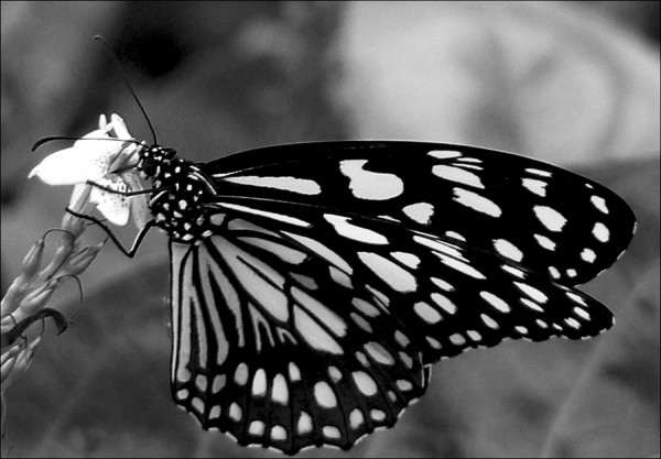 Butterfly - III