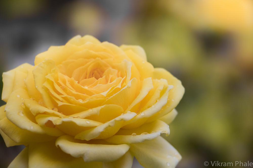 Rain and a Rose