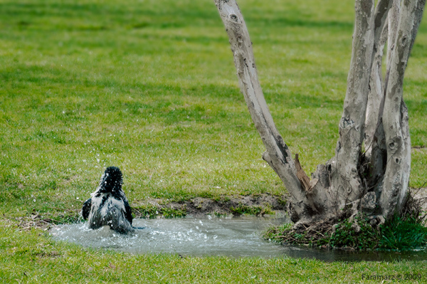 The Crow in jacuzzi ...