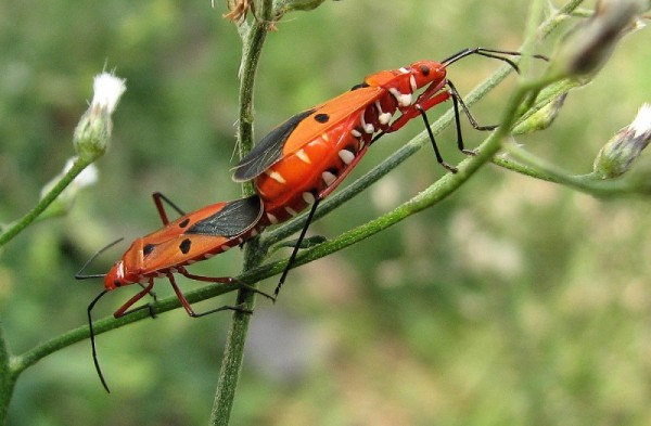 Red bugs mating in the roadside weeds