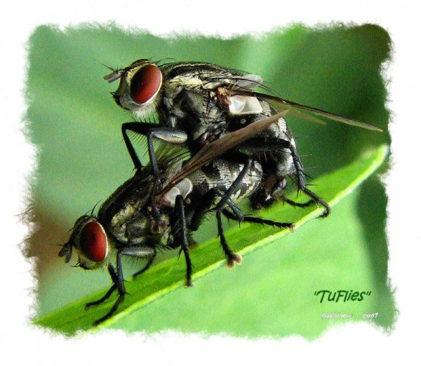 Two garden flies making whoopy