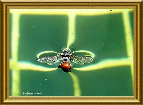 bee drowned in swimming pool