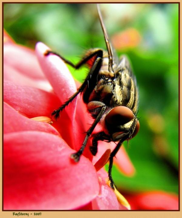 Garden fly sips nectar