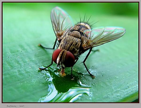 Thirsty gardenfly