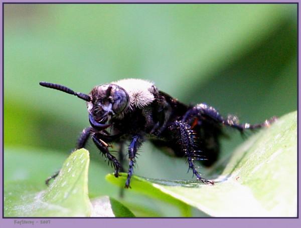 Sabre Toothed Hornet