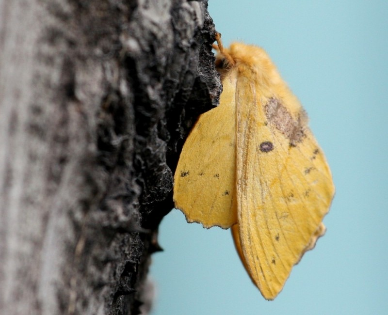 Yellow Moth