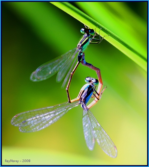 Damselflies caught in the act