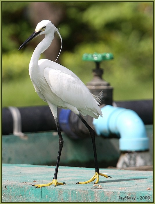 Egret with friend