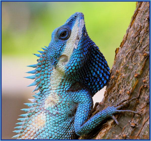 Lizard in mating costume