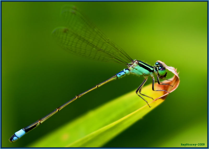 Damselfly on a leaf