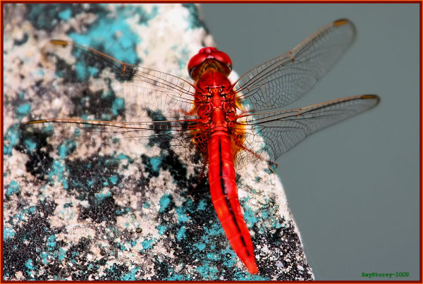 Dragonfly on the concrete
