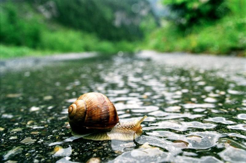 a swiss snail
