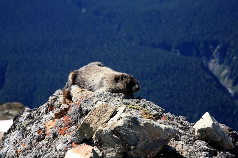 Portrait of the Artist as a Whistler Marmot