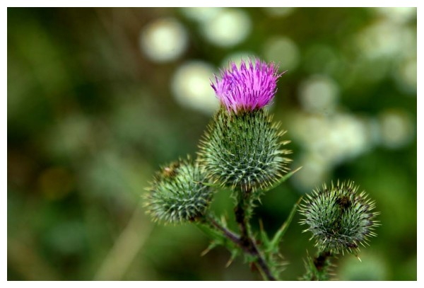 The Beauty of the Thistle