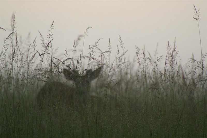 a deer sitting in a mountain meadow at dusk