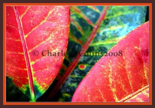 Jamaica Croton plants
