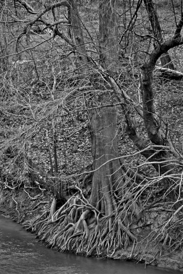 Tree roots on the Guadalupe River bank