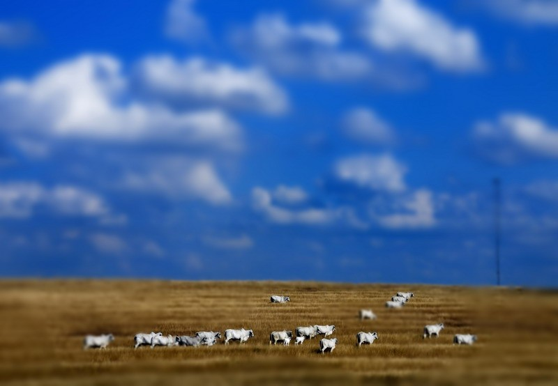 White cows in a red field