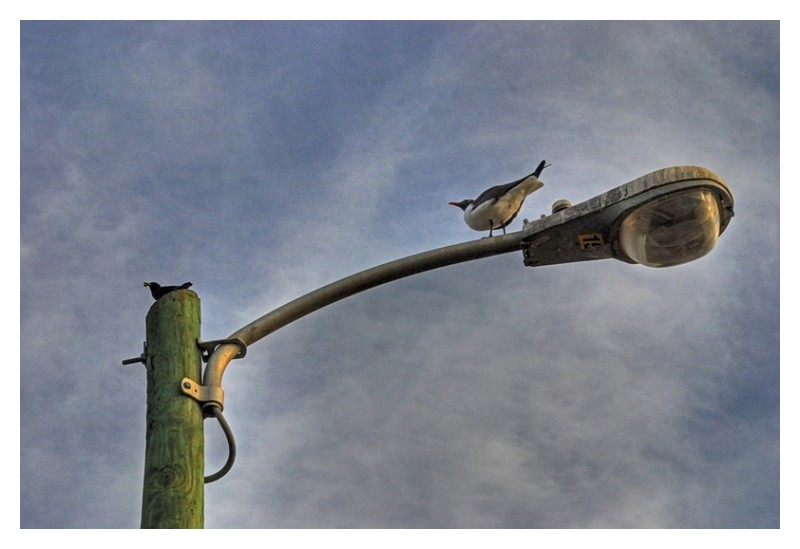 Black bird with worm and seagull on street lamp