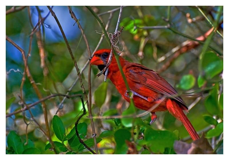 Cardinal, Goose Island State Park