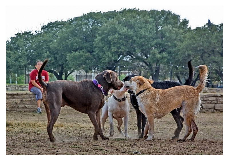 4 dogs meet and greet, Townlake, Austin