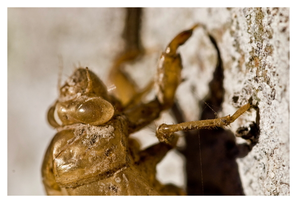 Cicada on tree