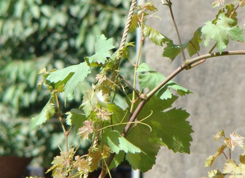 grave leaf