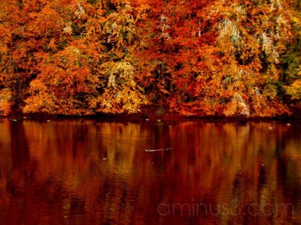Duck on lake Autumn