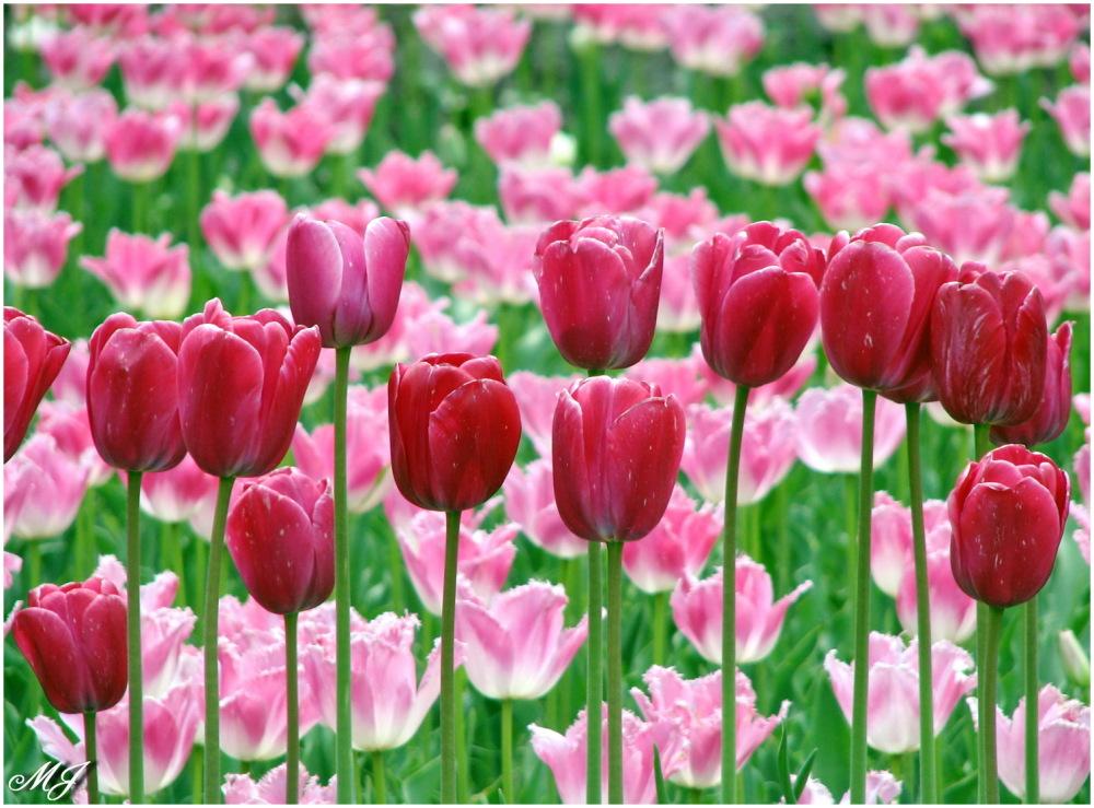 Tulip Flower Green Pink  سبز گل لاله صورتی