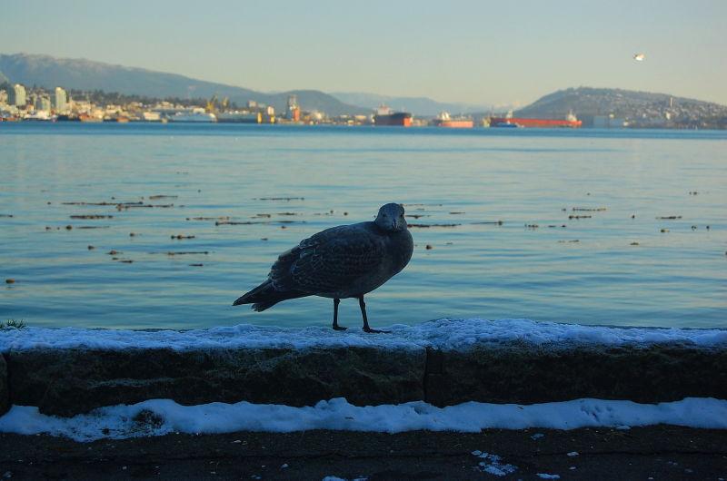 Stanley Park seagull