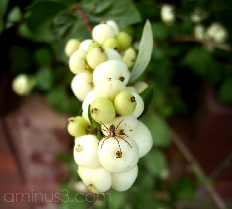 Snowberry & Spider.