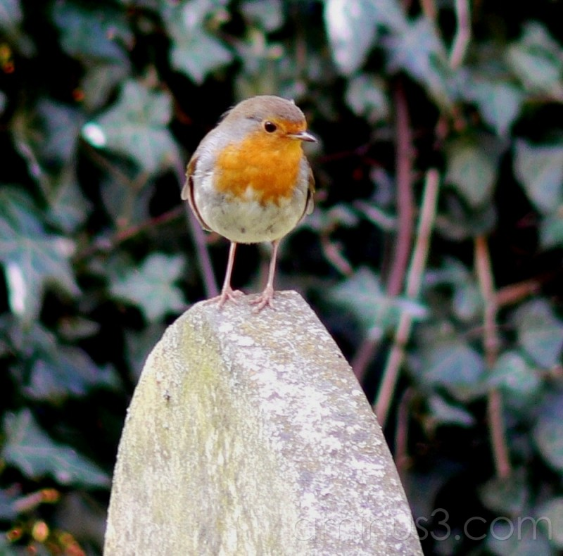 Little Robin.