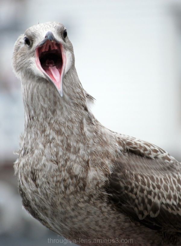 Bergen Gull