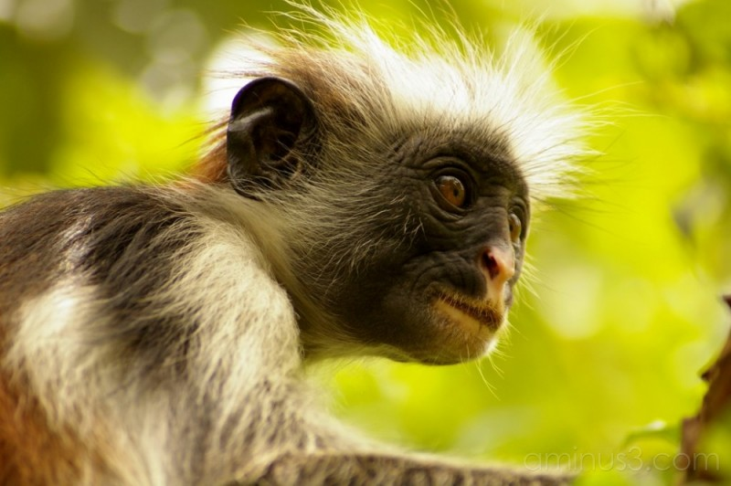 Red Colobus from Zanzibar