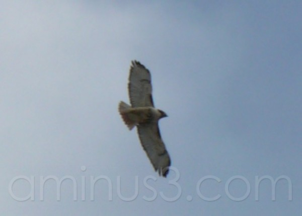Hawk In Flight ...