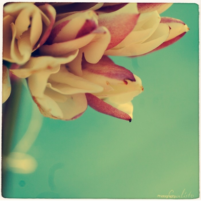spring haze, jasmine, flower, tunisia, retro