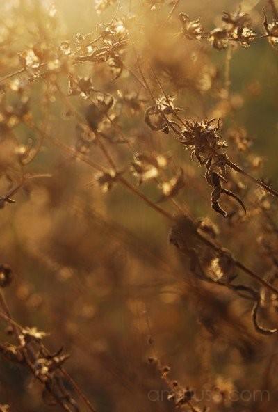 Sun Series: Golden